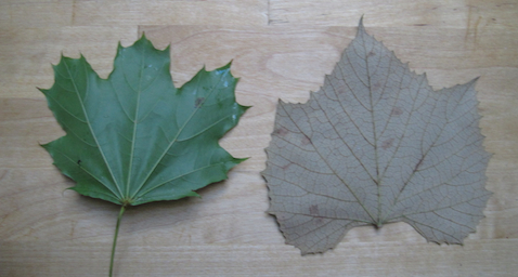 Maple (left) and grape leaf